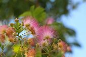 stock photo of tree-flower  - Beautiful and unusual fluffy pink flowers acacia in the garden - JPG
