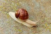 stock photo of snail-shell  - Garden snail - JPG