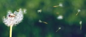 picture of dandelion seed  - Dandelion seeds in the morning sunlight blowing away across a fresh green background - JPG