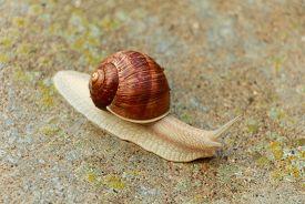 foto of garden snail  - Garden snail - JPG