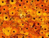 picture of marigold  - Bright orange flower heads pot marigold  - JPG