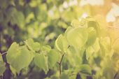 pic of linden-tree  - Vintage photo of linden tree branch with young leaves - JPG
