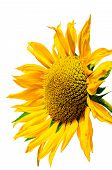 picture of sunflower  - Sunflower on a white background yellow sunflower - JPG