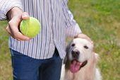 stock photo of toy dogs  - Close up photo of a man standing close to his cute golden retriever holding it gently with one hand and a tennis ball in other hand, dog looking at the toy