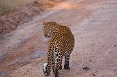 pic of leopard  - Curious Leopard in Zambia