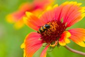 stock photo of summer insects  - Beautiful Feral Indian blanket flower and stylish insect  - JPG