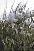 Split Toned Lilies