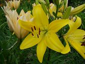 picture of monocots  - The yellow Lily grows in nature blooms in summer - JPG