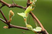 Grapevine Plant