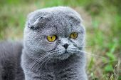pic of scottish-fold  - Scottish fold cat on the grass outdoor - JPG
