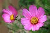 picture of cosmos flowers  - A delicate pink Cosmos flower are available in different colors  - JPG