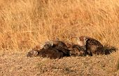 picture of hyenas  - Babies spotted hyena cubs just come out from their hole early in the morning sleeping on over another Masai Mara - JPG
