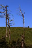 image of sakhalin  - old dead trunks of coniferous trees on blue sky background - JPG