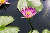 stock photo of water bug  - Big purple water lily floating on the dark water which reflect the sunlight - JPG