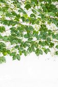 pic of ivy  - ivy leaves isolated on a white background - JPG