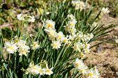 stock photo of daffodils  - White Double Daffodil - JPG