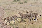 pic of cheetah  - Pride of cheetahs crossing country road at Masai Mara National Reserve Kenya East Africa - JPG
