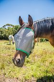 image of horse face  - Portrait of a horse wearing a fly net over the face to protect if from irritating flies in the eyes - JPG