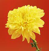 image of chrysanthemum  - fresh autumn yellow chrysanthemum on red background - JPG