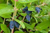 image of honeysuckle  - honeysuckle berries growing on the branch in the garden - JPG
