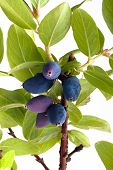 stock photo of honeysuckle  - branch of honeysuckle with fresh blue berries on white background - JPG