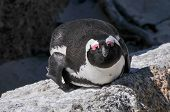 pic of jackass  - Jackass Penguin on Boulders Beach Nature Reserve near Cape Town Western Cape South Africa. ** Note: Soft Focus at 100%, best at smaller sizes - JPG