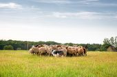 image of herding dog  - Purebred border collie herding a flock of sheep on a summer day. ** Note: Soft Focus at 100%, best at smaller sizes - JPG