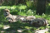 Lazy Geparden