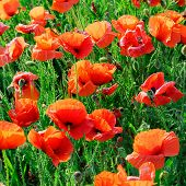 picture of poppy flower  - poppies on green field - JPG