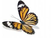 Butterfly (Monarch)