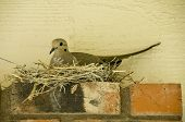 Dove On Her Nest