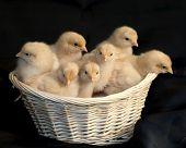 Basket Of Chicks