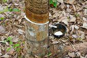 Thailand rubber tree plantation
