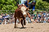 Brave Little Boy Rides Bull On Australia Day Rodeo Festival