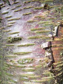 picture of stomata  - peeling bark of a cherry tree - JPG