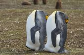 King Penguins (aptenodytes Patagonicus) Appear Headless As They Rest By Standing With Their Head Res poster