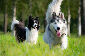 Dogs Play With Each Other. Border Collie. Merry Fuss. Aggressive Dog. Training Of Dogs. Education, C poster