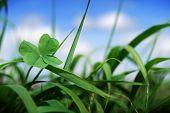 Four Leaf Clover In Grass