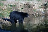 picture of bear cub  - A picture of a beautiful American black bear in a small lake - JPG