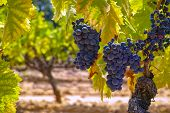 French Red And Rose Wine Grapes Plant, Growing On Ochre Mineral Soil, New Harvest Of Wine Grape In F poster