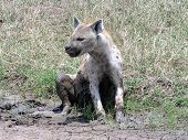 stock photo of mud pack  - spotted hyena cooling itself in shallow mud puddle during dry season in serengeti - JPG