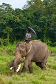 CHITWAN, NEPAL - OCTOBER 30: Local inhabitant rides on an elephant at Chitwan National Park october