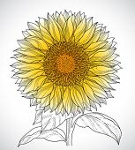 pic of sunflower  - sunflower drawing - JPG