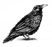 stock photo of raven  - Raven drawing high quality vector - JPG