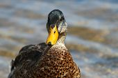 A Male Mallard Drake In Eclipse Plumage During His Moult poster