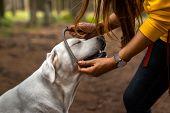 Purebred Labrador Retriever Dog Puppy Wearing A Collar poster