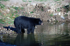 stock photo of bear-cub  - A picture of a beautiful American black bear in a small lake - JPG