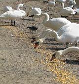Swan Lunch