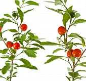 Nightshade plant with red berries on white background