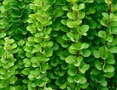 Background Of Green Branches And Leaves Of Barberry